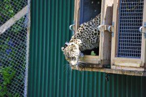 Foto de Leopardo Persa del Caucaso siendo liberada