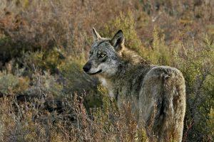 lobo iberico adulto