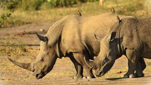 Rinocerontes con picabueyes