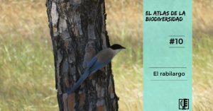 El rabilargo | El atlas de la biodiversidad #10