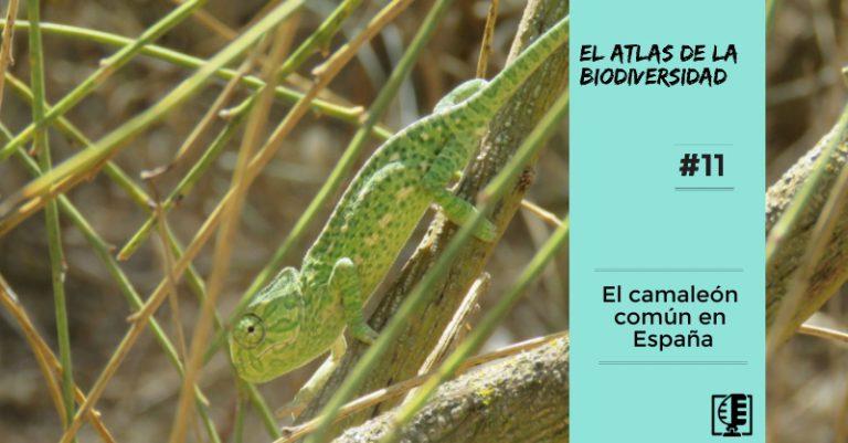 El camaleón común en España   El Atlas de la Biodiversidad #11