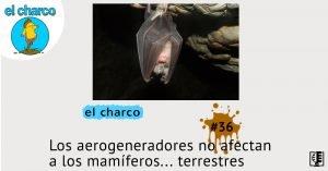 Los aerogeneradores no afectan a los mamíferos… terrestres | el charco #36